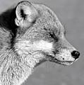 Fox - Mono by David Rose-Massom