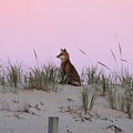 Fox On The Dune At Dawn by Robert Banach