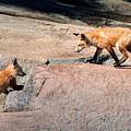 Red Fox Playtime by Joe Granita