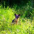 Fox Pup by Timothy Bulone