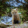 Fox Pup112 by Tracy Bell