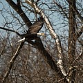 Fox River Eagles - 20 by David Bearden