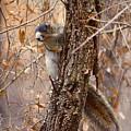 Fox Squirrel by Aaron Rushin