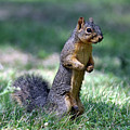 Fox Squirrel by Laura Mountainspring