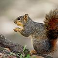 Fox Squirrel by Nicholas Blackwell