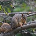 Fox Squirrel On A Branch  by Scott D Van Osdol