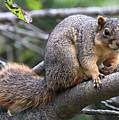 Fox Squirrel On A Branch - Southern Indiana by Scott D Van Osdol