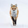 Fox Trot by Max Waugh