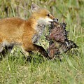Fox With Dinner by Christine Russell