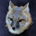 Foxburst by Debi Dalio