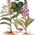 Foxglove And Herb Paris by Granger