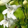 Foxglove Beardtongue - Penstemon Digitalis by Mother Nature