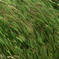 Foxtail Barley - Salisbury Potrero by Soli Deo Gloria Wilderness And Wildlife Photography