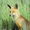 Foxy Lady by Chad Vidas