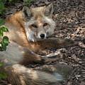 Foxy by Mitch Spence