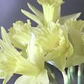 Fragile Daffodils by Jacqi Elmslie