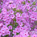 Fragrant Phlox by MHmarkhanlon