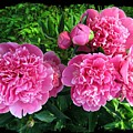 Fragrant Pink Peonies by Will Borden