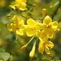 Fragrant Yellow Flowers Of Carolina Jasmine by Taiche Acrylic Art