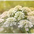 Framed Cow Parsley by Nick Eagles