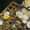 France Flower Petals, Rose, Still-life by Keenpress