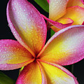 Frangipani After The Rain by Keith Hawley