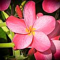 Frangipani Blossom by Marilee Noland