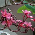 Frangipani Flowers by Susanne Van Hulst