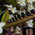 Frangipani Tree And Caterpillar by Anthony Totah