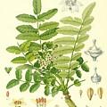 Frankincense by German School