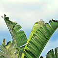Frayed Palm Fronds Against Blue Sky by Elaine Plesser