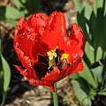 Frayed Tulip by Julia McHugh