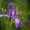 Free Ranging Wild Iris by Belinda Greb