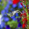 Freedom Hummingbird by Paul Danaher