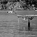 Freedom Is A Seagull Name Black And White by Pedro Cardona Llambias