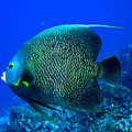 French Angelfish by Stephanie  Puttre
