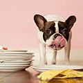 French Bulldog Licking Dirty Dishes by Valderrama Photography