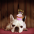 French Bulldog With Birthday Cupcake by Retales Botijero