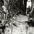 French Grunt Under Corals by Perla Copernik