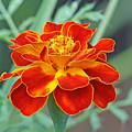 French Marigold by Manjeet Sabharwal