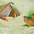 French Partridge By Thorburn by Archibald Thorburn