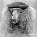 French Poodle Wearing Beret, C.1970s by H. Armstrong Roberts/ClassicStock