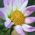 Fresh As A Dahlia by Connie Handscomb