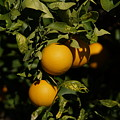 Fresh Oranges by Ernie Echols