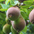 Fresh Pears by Andrew Balcombe