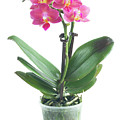 Fresh Pink Orchid In Pot by Anastasy Yarmolovich