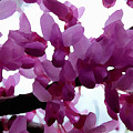 Fresh Redbud Blooms by Shelli Fitzpatrick