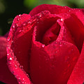 Fresh Rose by Keith Smith