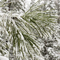 Fresh Snow Covers Needles On A Pine by Charles Kogod
