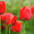 Fresh Spring Tulips Flowers With Water Drops In The Garden  by Sergei Rovnianskyi